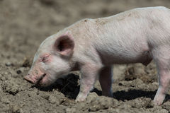 Baby pig. Standing on ground stock photos