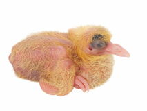 Baby pigeon isolated on white Royalty Free Stock Photography
