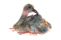 Baby pigeon isolated on white background. A baby pigeon isolated on white background royalty free stock images