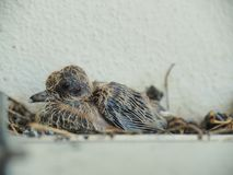 Baby pigeon leaving in nest. Baby Pigeon about a week old stay lodge in a nest, with little a feather growing, showing some stool dirty in the nest royalty free stock photo