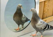 baby pigeon in mirror-Am I look handsome? stock photos