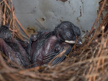 Baby Pigeon Nest in load panel box. Closeup of Baby Pigeon Nest in load panel box royalty free stock photos