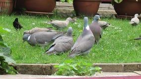 Baby pigeon with parents. Baby pigeon with parents feeding in urban garden stock video