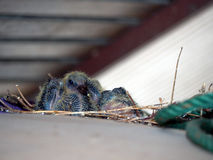 Baby pigeon. Baby rock dove under roof in city stock photo