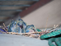 Baby pigeon. Baby rock dove under roof in city stock images