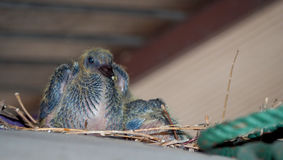 Baby pigeon. Baby rock dove under roof in city royalty free stock images