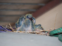 Baby pigeon. Baby rock dove under roof in city royalty free stock photo