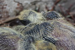 Baby pigeon sleeping, along with his brother. Two small pigeons. With the emerging dark and sharp tail feathering on the wings in the branches of the nest stock photos
