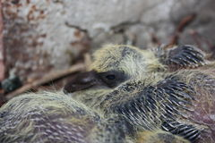 Baby pigeon sleeping, along with his brother. Two thick, well-fed dove. With the emerging dark and sharp tail feathering on the wings in the branches of the stock photography