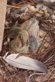 Baby Pigeon in Nest. The baby pigeon was too young to have feathers and it cannot fly. Baby pigeons grow their feathers very fast and then can fly royalty free stock photo