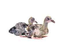Baby pigeon on white Stock Images