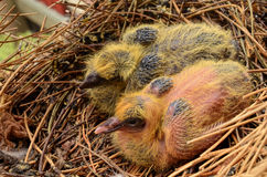 Baby pigeons Royalty Free Stock Photography