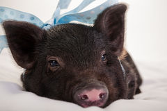 Baby piggy Royalty Free Stock Photo