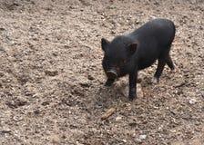 Baby Piggy Stock Photo