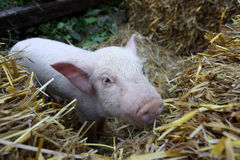 Baby Piglet Bales of Hay Stock Images