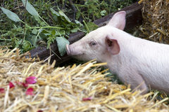 Baby Piglet Bales of Hay Stock Photography