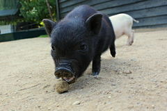 Baby piglet eat. Black young pig want eat and he has got open mouth royalty free stock photo