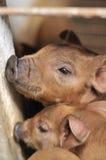 Baby Piglet I Stock Photos