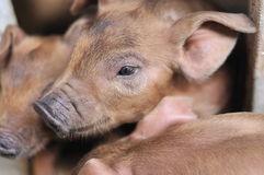 Baby Piglet II. Piglets in a cage at a pig farm Stock Photo