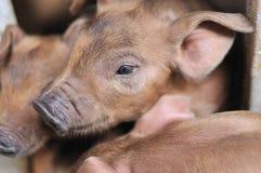 Baby Piglet II Stock Photo