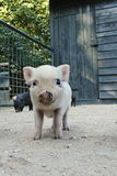 Baby piglet. On the image is curions piggy stock photo