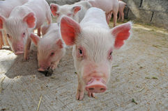Baby pigs. Piglets running around in pig pen on farm Stock Image