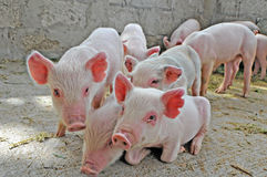 Baby pigs. Piglets running around in pig pen on farm Royalty Free Stock Images