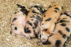 Baby pigs royalty free stock photo