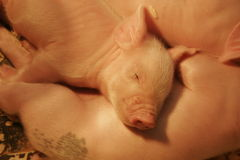 Baby pigs stock images