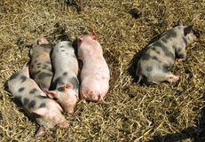 Baby pigs at a farm Stock Image