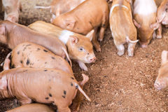 Baby pigs in the farm Stock Image