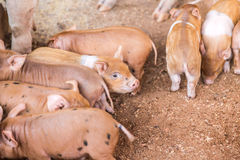 Baby pigs in the farm Royalty Free Stock Photography