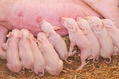 Baby Pigs Feeding with Mother Stock Images