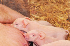 Baby Pigs Feeding with Mother Stock Image
