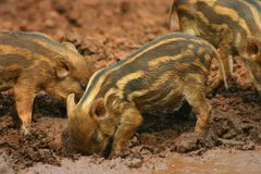 Baby pigs in the mud 2 Royalty Free Stock Images