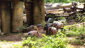 Baby Pigs, Piglets, Hogs, Farm Animals stock footage