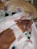 Baby pigs. Piglets resting together in barn, Springtime Royalty Free Stock Image
