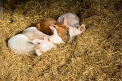 Baby pigs sleeping in hay Royalty Free Stock Photo