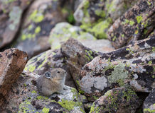 Baby Pika. A baby pika on a Wyoming boulder field Royalty Free Stock Images