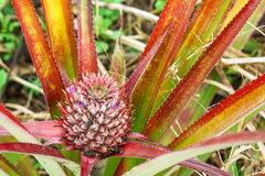Baby pineapple still on tree Royalty Free Stock Photo