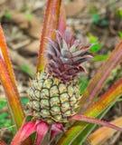 Baby pineapple still on tree Royalty Free Stock Photos