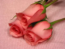 Baby pink 1. Pink roses on soft pink mohair Royalty Free Stock Photos