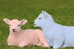 Baby Pink and Baby Blue Lambs Royalty Free Stock Image