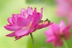 Baby in pink lotus flower. Adorable newborn baby in frog outfit sleeping in a pink lotus flower Stock Photos