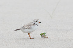 Baby piping plover Stock Images