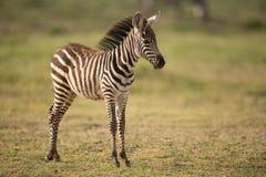 A Baby Plains Zebra in Amboseli, Kenya Stock Images