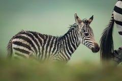 Baby plains zebra follows mother behind bushes stock image