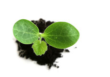 Baby Plant Royalty Free Stock Photography