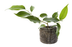 Baby plant. ficus Royalty Free Stock Images