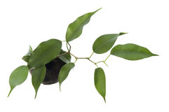 Baby plant. ficus Stock Images